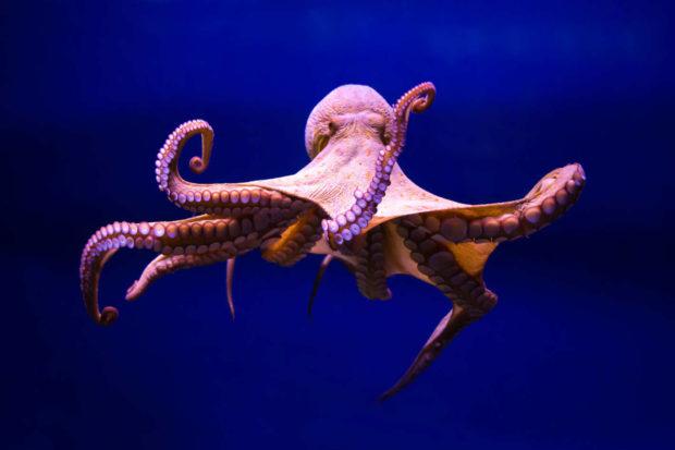 19-octopus.w710.h473.2x-620x413